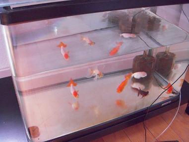 45cm金魚水槽