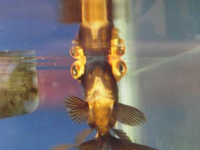 逆さ金魚さん