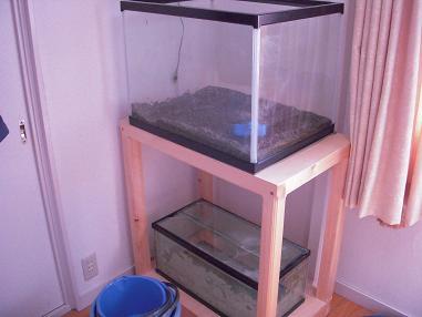 60cmワイドとランチュウ水槽
