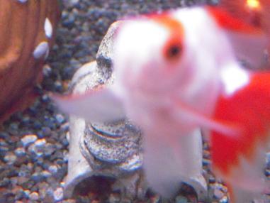 目立ちたがり金魚さん