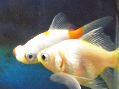 白金魚さん、ささやき戦術