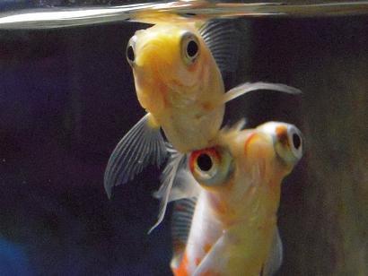 目の上の白金魚