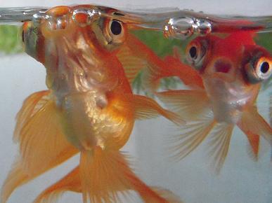 ビックリ金魚さん
