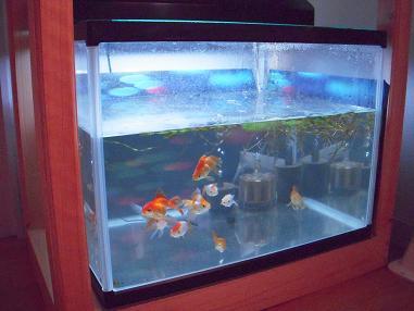 金魚水槽白濁