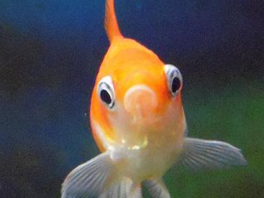 おすまし金魚さん