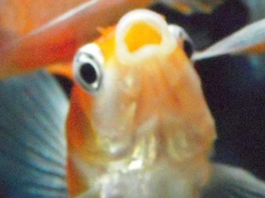 金魚の叫び 13