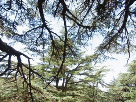 さわやかな杉の香りの下でランチしました