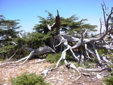 イスラエル軍の砲撃によって割れた木
