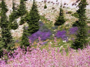 レバノン杉とお花たち