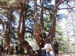 これがシューフ保護区の中では一番古いレバノン杉