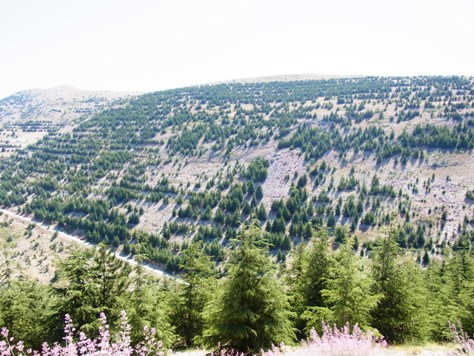 現在レバノン杉の植林がおこなわれています