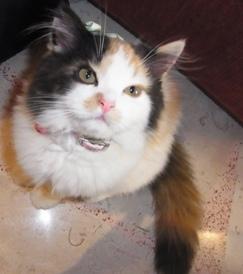ヨッピーという名のペルシャ猫