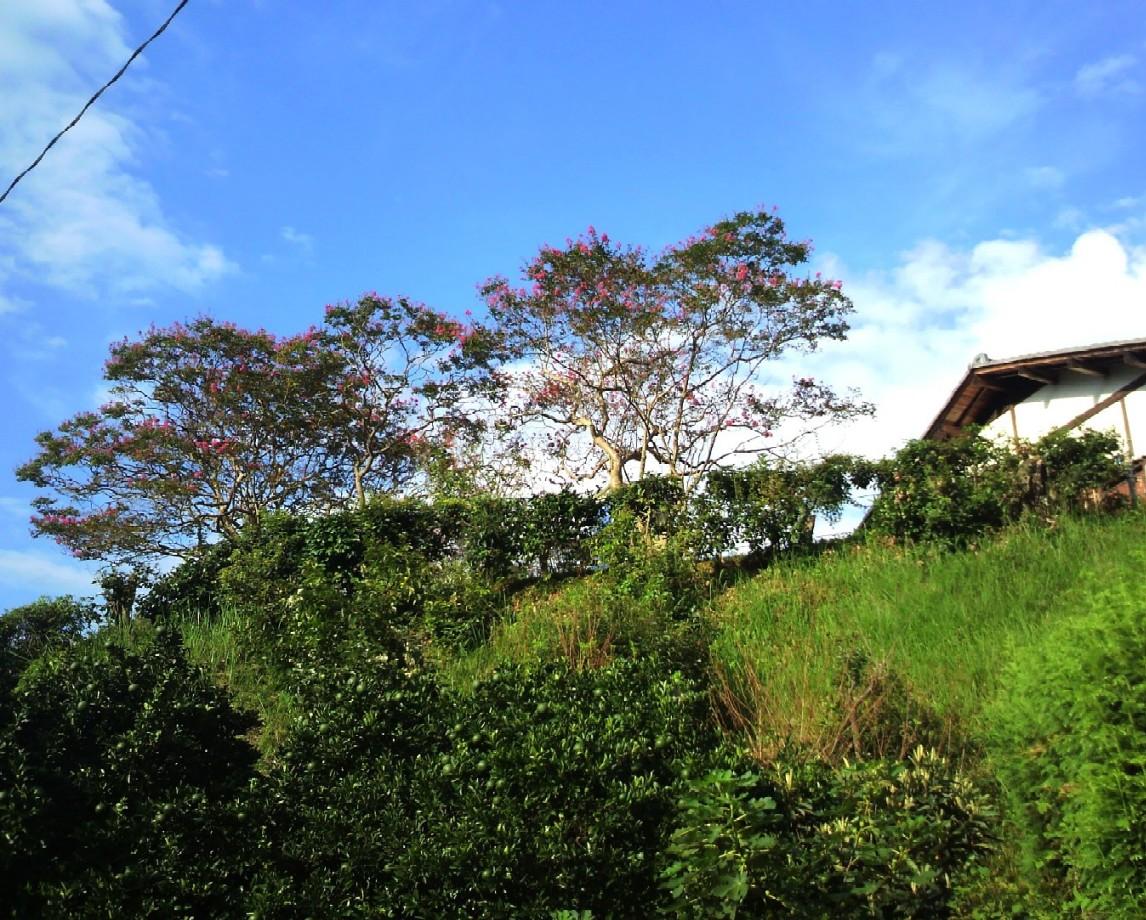 村の道から見上げた石位寺の百日紅