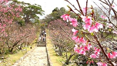 石畳と桜のコントラスト