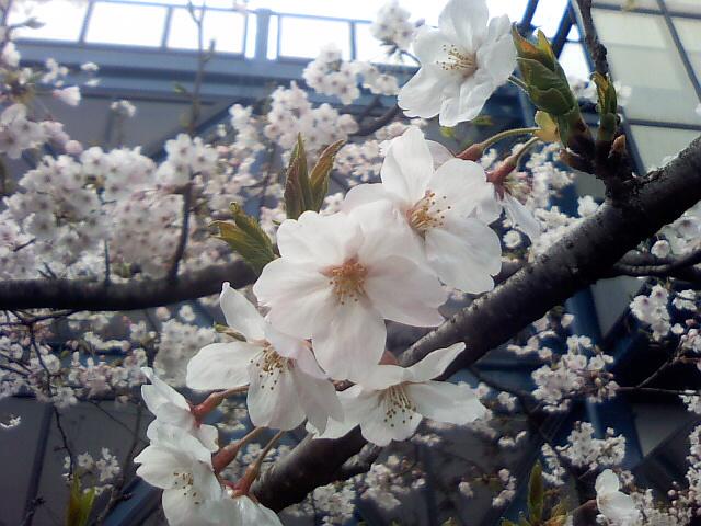 090405桜