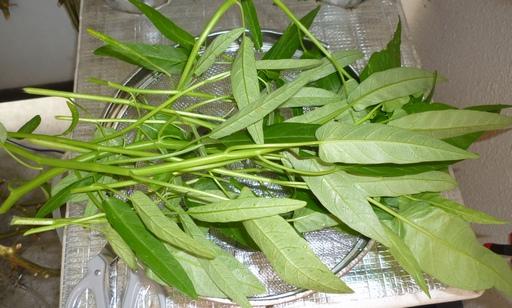 20101018空芯菜収穫.jpg