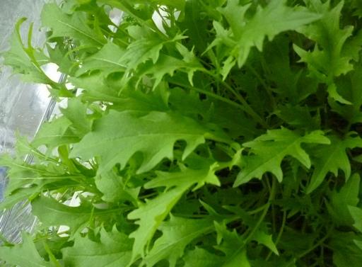 20100404水菜3.JPG