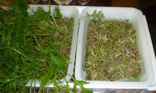 20100429水菜3.jpg