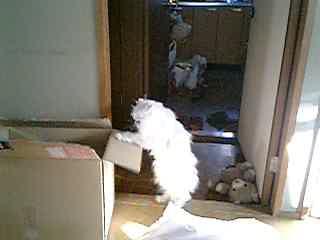 アンバー、箱に入りたい~、入れない~!