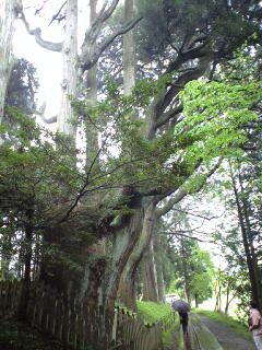 幣立神宮の巨木.jpg