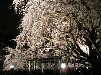 六義園_しだれ桜00_ss.JPG
