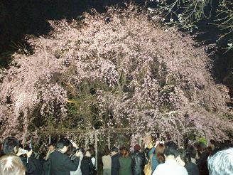 六義園_しだれ桜01_ss.JPG