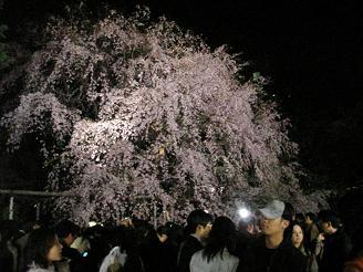 六義園_しだれ桜02_ss.JPG