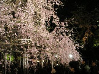 六義園_しだれ桜03_ss.JPG
