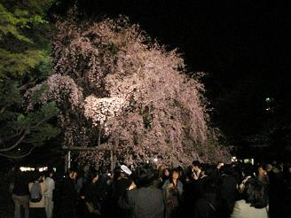六義園_しだれ桜04_ss.JPG