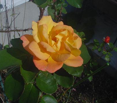 2011年11月16日 アンネの薔薇.jpg