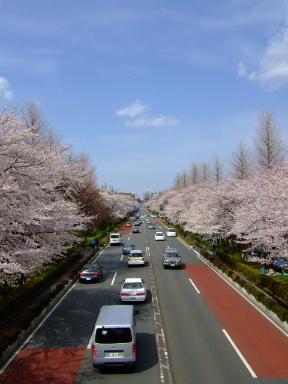 国立 桜8