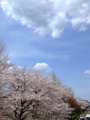 国立 桜10