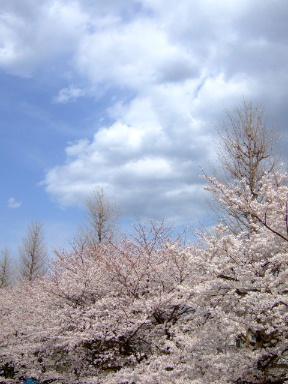 国立 桜11