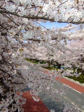 国立 桜12