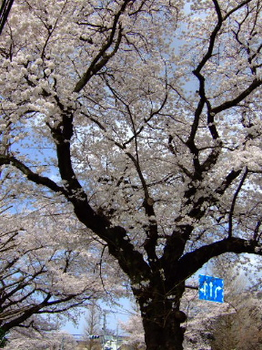 国立 桜13
