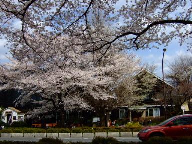 国立 桜14