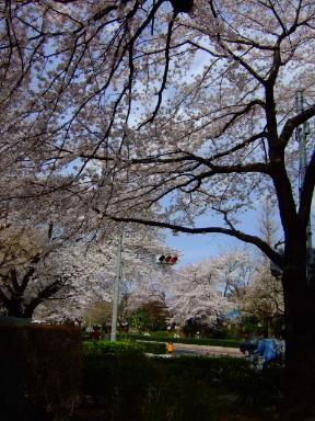国立 桜16