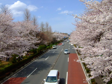 国立 桜17