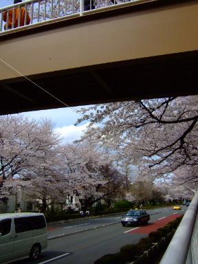 国立 桜3