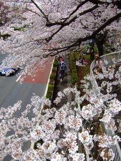 国立 桜4