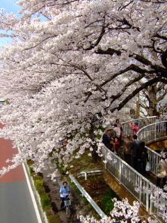 国立 桜5