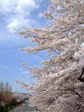 国立 桜6