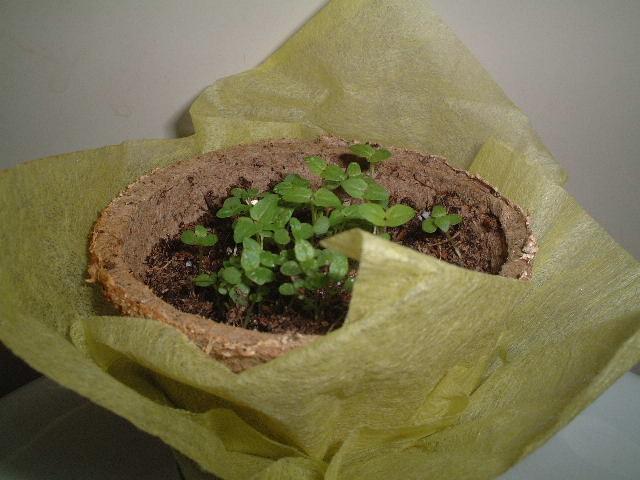 スペアミントの発芽
