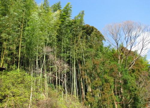 竹伐り2.jpg