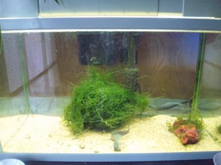 肺魚51センチ水槽