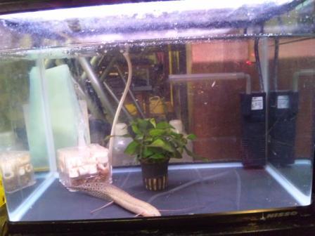 肺魚水槽その2