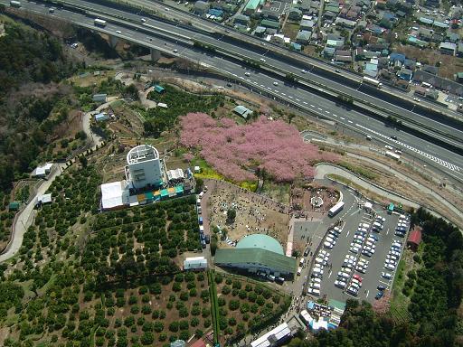 桜祭り会場.JPG