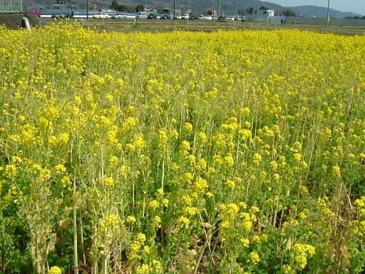 満開の菜の花.JPG