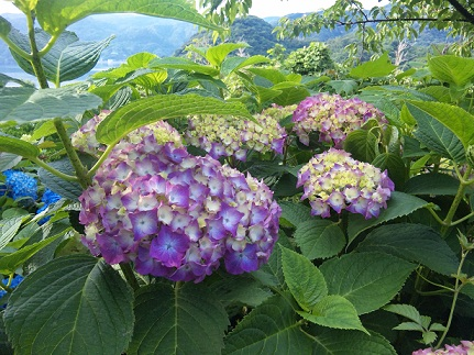 紫陽花・むらさき