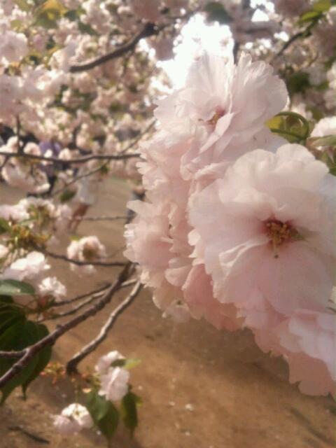 新宿御苑の桜2